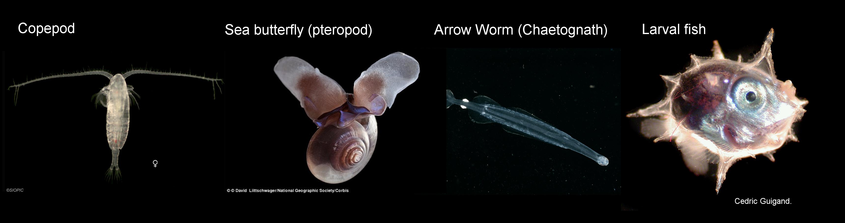 zooplankton_strip